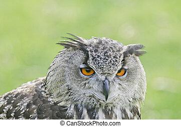 Great horned owl in The Keukenhof, The Netherlands