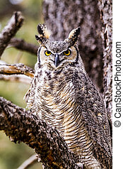 Great Horned Owl in Winter Setting - Female Great Horned Owl...