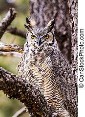 Great Horned Owl in Winter Setting - Female Great Horned Owl...