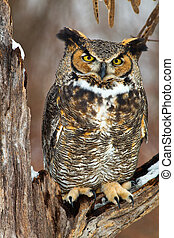 Great Horned Owl in Winter - Great Horned Owl sits on a snow...