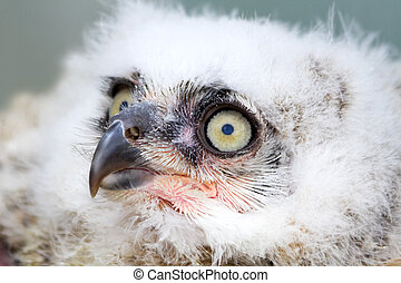 Great Horned Owl nestling side angle view