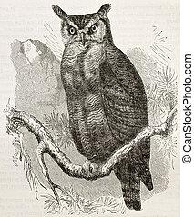 Great Horned-owl