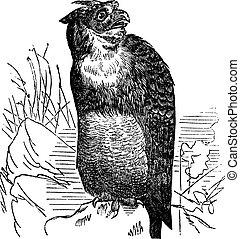 Great Horned Owl or Tiger Owl or Bubo virginianus, vintage engraving