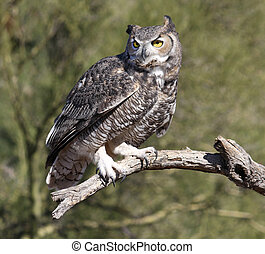 Great Horned Owl - Owl On a Branch