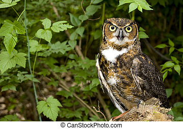 Great Horned Owl perched in the woods