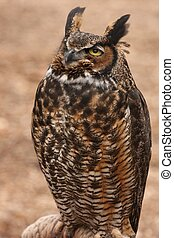 Great Horned Owl - Close up of a Great Horned Owl