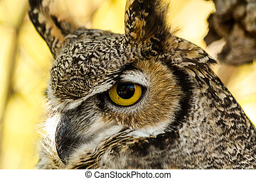 Great Horned Owl - Profile view of a Great horned owl