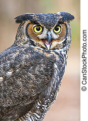 Great Horned Owl - Great horned owls are the largest common...
