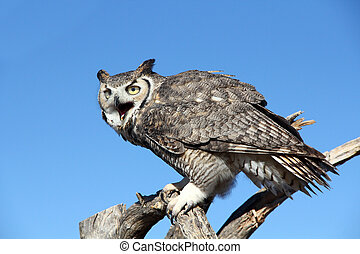 Great Horned Owl roosting