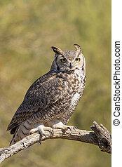 Great Horned Owl - a great horned owl in the desert