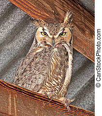 Great Horned Owl - Great Horned Ow (Bubo virginiancus)...