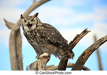 Great Horned Owl Chatting