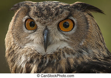 Great Horned Owl - This is a close up color horizontal image...
