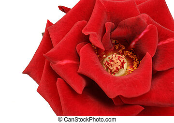 great look at a rose