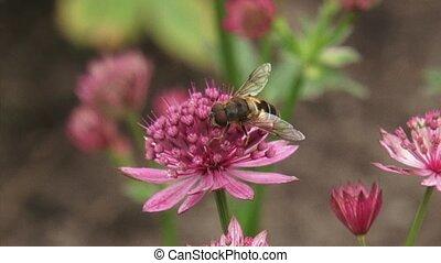 Great masterwort, Astrantia maxima + hoverfly pollinator +...