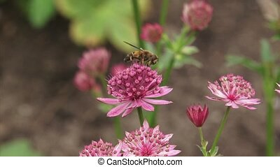 Great masterwort, Astrantia maxima in bloom + hoverfly...
