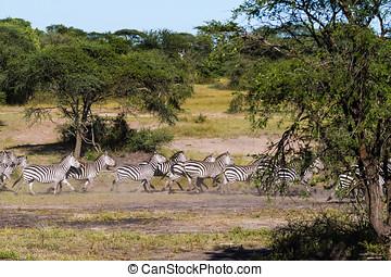 Great migration in Serengeti. Africa