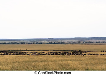 Great migration in the Serengeti, Africa