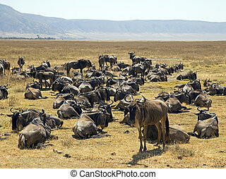 Great migration of the gnus