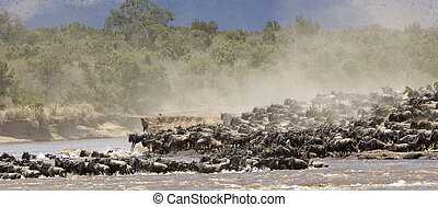 Great Migration - Crossing the Mara river during the great...