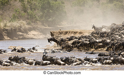 Great migration - Wildebeast and zebra crossing the Mara ...
