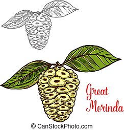 Great morinda or mulberry tropical fruit sketch - Great...