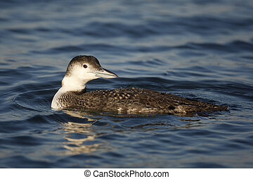Great northern diver, Gavia immer, single bird on water