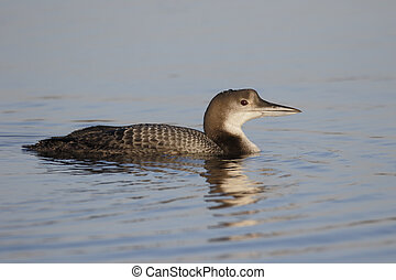 Great-northern diver, Gavia immer, single bird on water, West Midlands, January 2015