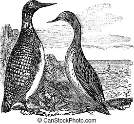 Great Northern Loon or Great Northern Diver or Common Loon or Gavia immer, vintage engraving