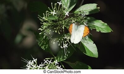 Great Orange Tip butterfly closeup - Great Orange Tip...