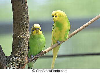 Great Pair of budgies Sitting Together on a Branch