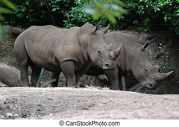 Great Pair of Rhinos Standing in the Shade of a Tree