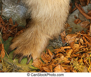 great paw of a bear in the autumn wood with long and claws