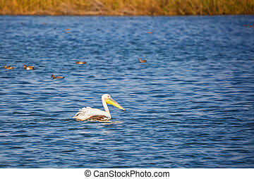 Great pelican swims in the blue water lake