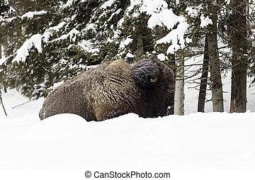 Great Plains Buffalo resting