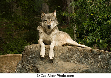 great plains wolf on rock - great plains wolf looking ...