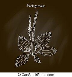 Great plantain. Plantago major - medicinal plant