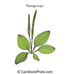 Great plantain. Plantago major - medicinal plant. Hand drawn...