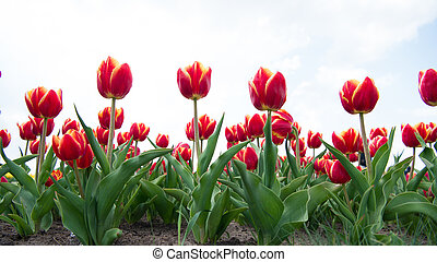 Great plants. beauty of blooming field. Hollands tulip bloom in spring season orangery. group of pink holiday tulip flowerbed. Blossoming tulip fields. spring landscape park. country of tulip