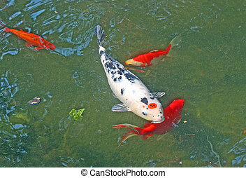 Great Red fish in a tank with an aquarium