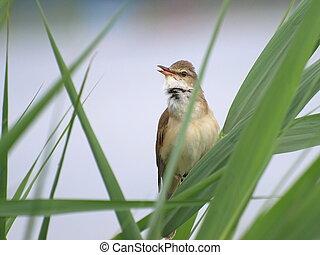 Great Reed Warbler, Acrocephalus arundinaceus