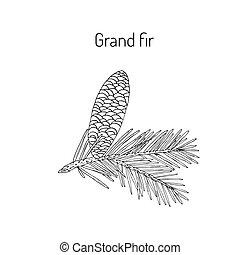 Great silver fir, or grand fir abies grandis . Vector...