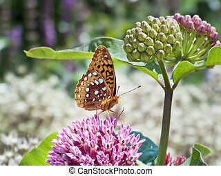 A great spangled fritillary butterfly drinks nectar from a purple milkweed flower