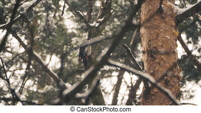 Great spotted woodpecker Dendrocopos major chiseling into tree to find food. Colorful bird in winter forest.