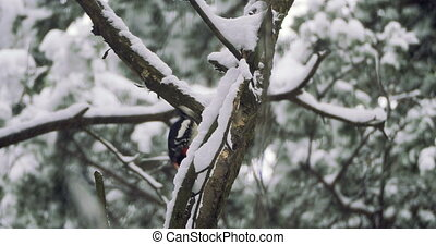 Great spotted woodpecker, Dendrocopos major, knocks on the...