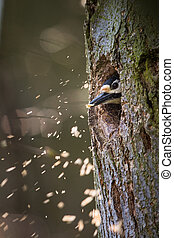 Great spotted woodpecker (Dendrocopos major) making rrom for the family