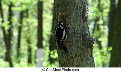Great spotted woodpecker extracts the larvae of beetles from the trunk of a tree (Dendrocopos major)