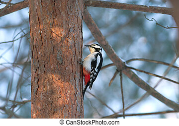 Great spotted woodpecker in winter