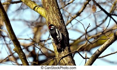 Great spotted woodpecker, male bird looking for food in a...
