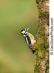 Great Spotted Woodpecker on a mossy tree